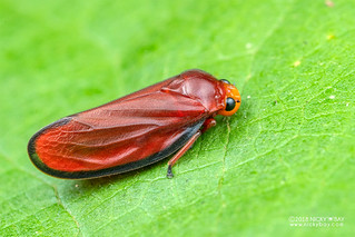 Red froghopper (Amberana marginata) - DSC_2064