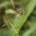 Lestes sponsa - Emerald Damselfly. 1140012