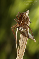 Dolomedes with prey