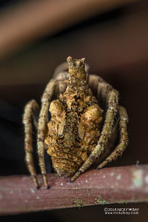 Tree-stump orb weaver (Poltys sp.) - DSC_2782