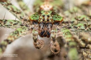 Wandering spider (Viridasiidae) - DSC_8593b