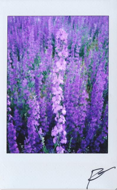 """Fujitivas_61 """" Purple Spring """""""