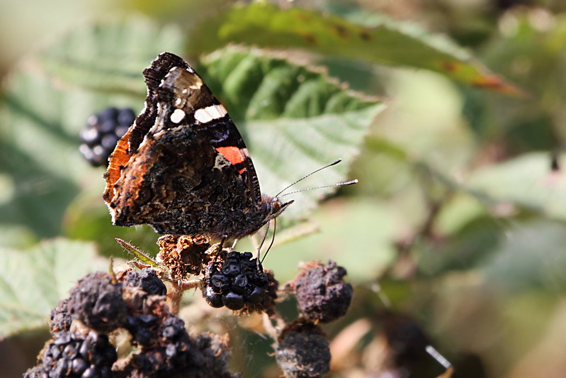 Red Admiral butterfly on a over-ripe blackberry