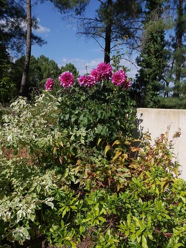 les phénix du jardin - Page 2 43761004165_4c7d85e802