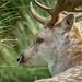 A fallow buck at rest