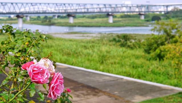 相模川ローズガーデンDSC00764-01