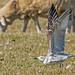 Caspian Gull (Larus cachinnans) at Colin Best Reserve by Rock.Dweller