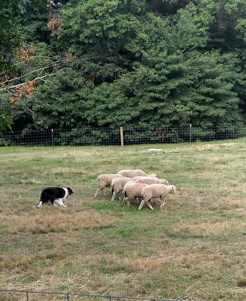 Sheep on mutton hill