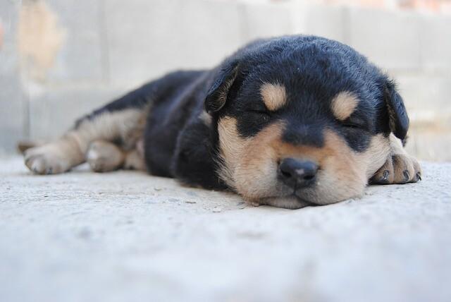 初日からしっかり遊んで眠る子犬