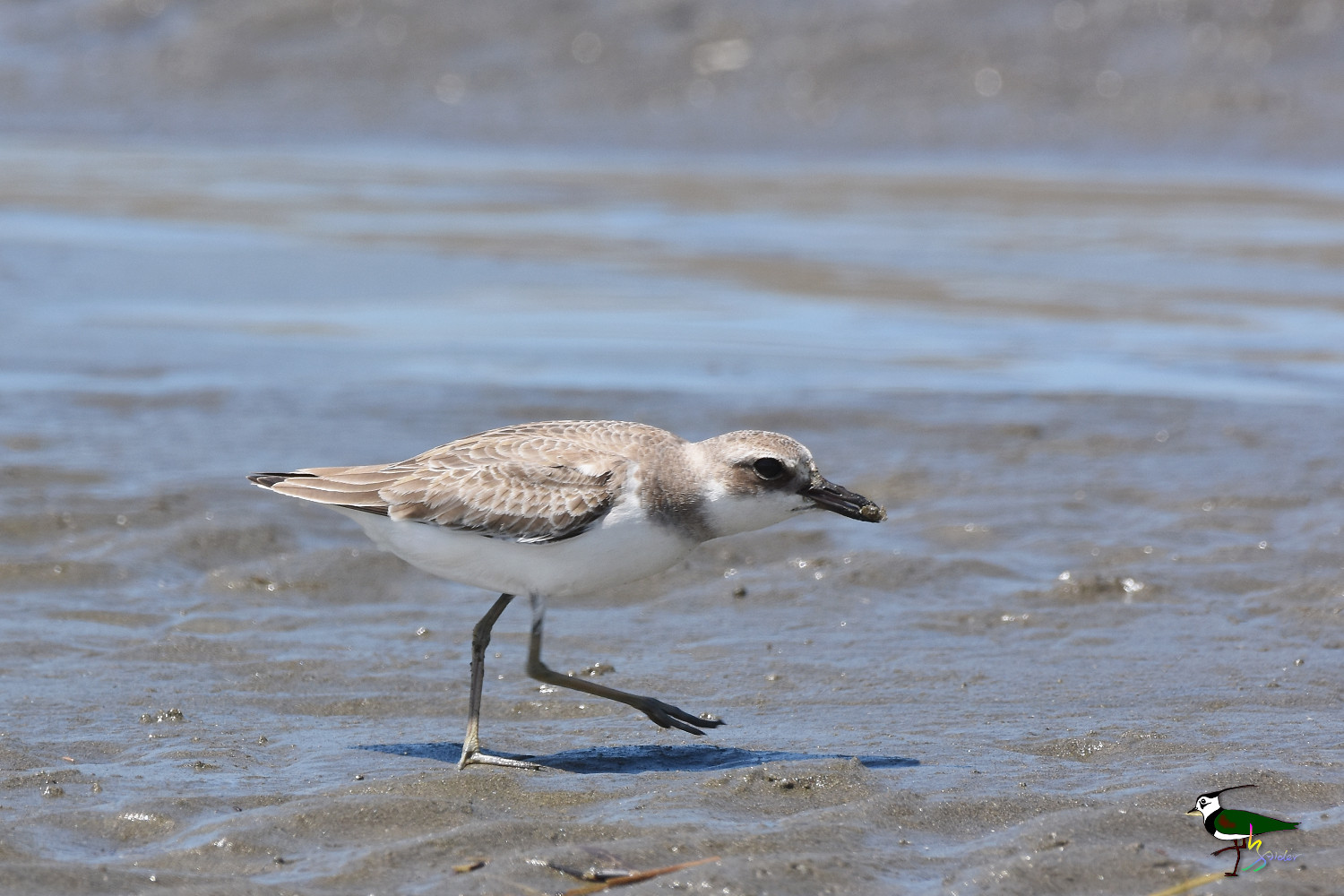 Greater_Sand_Plover_3376