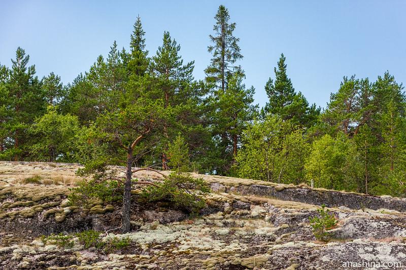Карликовая сосна-бонсай на скале, Ладожское озеро, остров Хонкасало