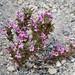 Dwarf Purple Monkeyflower (Mimulus nanus) by Ron Wolf