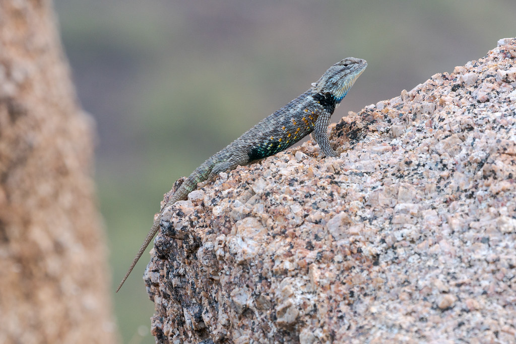 A desert spiny lizard perches on a granite rock along the Rustler Trail in McDowell Sonoran Preserve in Scottsdale, Arizona