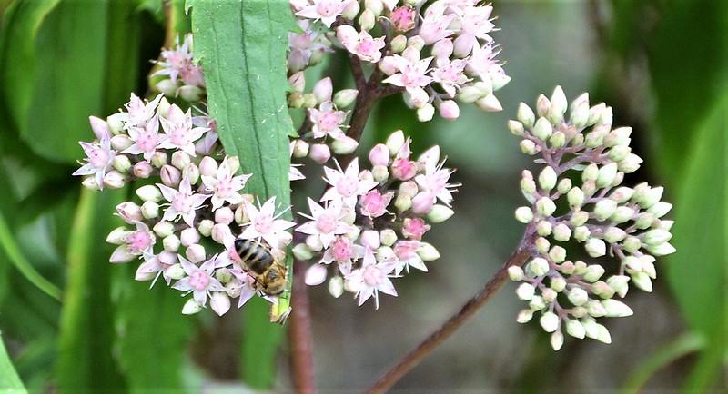 Bee on Sedum 28.08 (1)