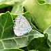 Holly Blue Butterfly  ....