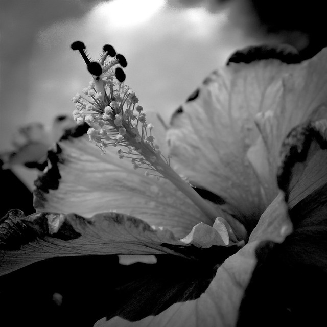 Summer flower in B&W