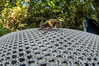 Bee - DSC_1676