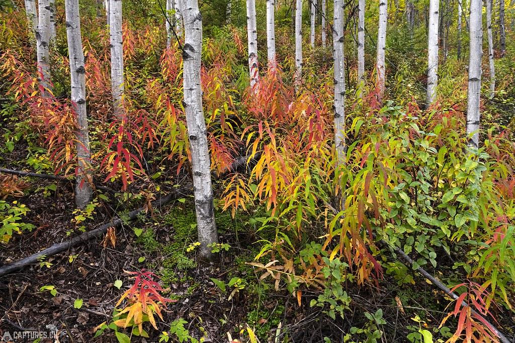 Birch forest - Alaska