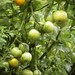 My Tomatoes Keep Coming