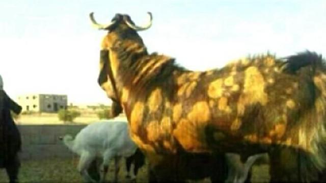 2033 Saudi buys a Goat worth SR 13 million (3.47 million) to Slaughter on Eid 02