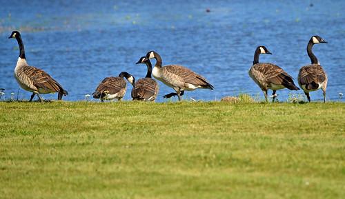 The Canada geese. Summer. Finland. Lake Päijänne.