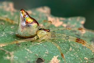 Mirror spider (Thwaitesia sp.) - DSC_9392