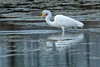 White heron - great egret - kotuku - Ardea alba by Maureen Pierre