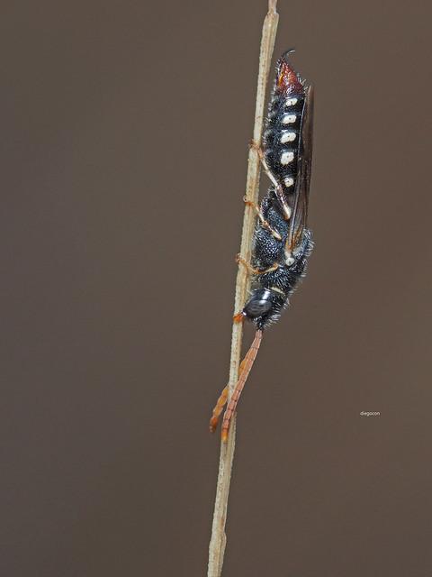Poecilotiphia s.p., Olympus E-M1, SIGMA 105mm F2.8 MACRO