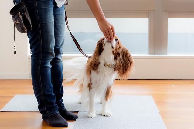 引っ張らない散歩の練習をしている犬