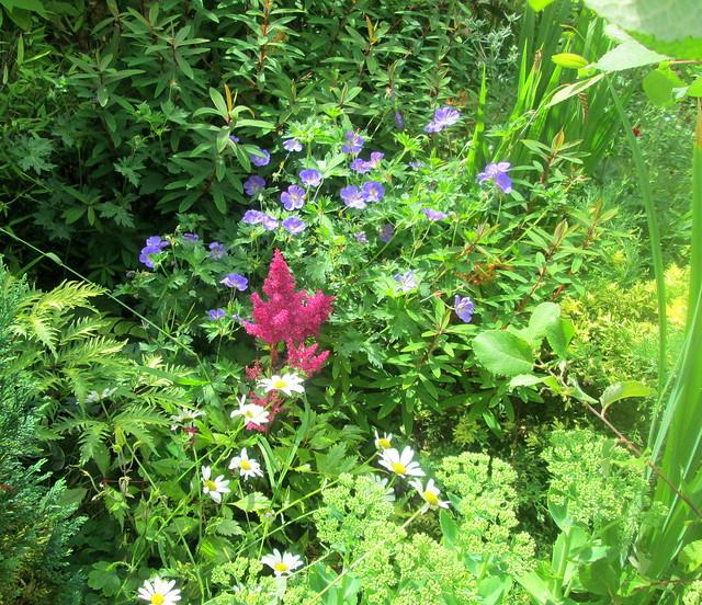 garden, geraniums, astilbe