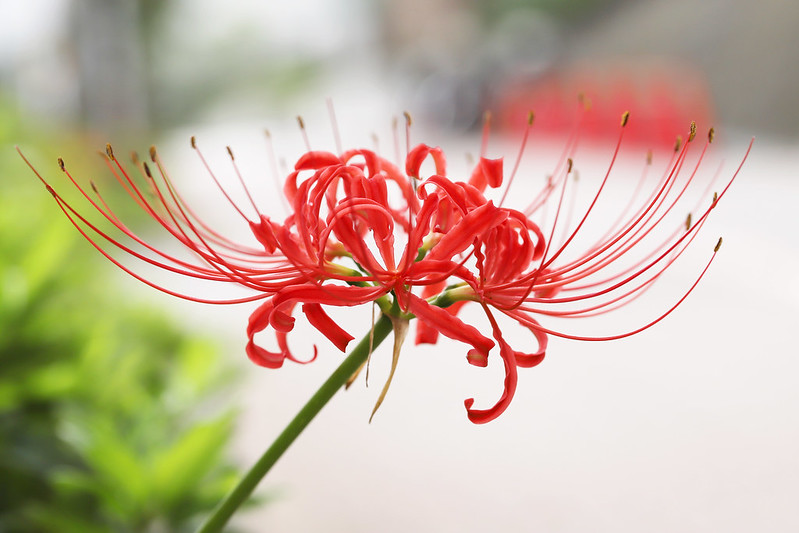 Lycoris radiata  ヒガンバナ