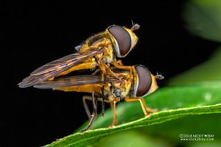 Hoverflies (Syrphidae) - DSC_8637