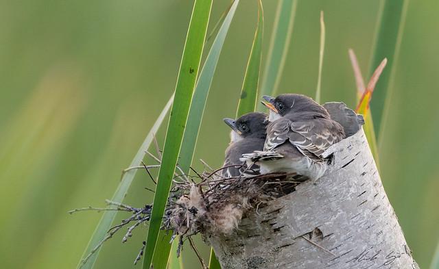 Tyran tritri // Eastern Kingbird