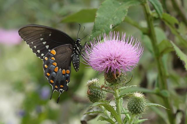 Black Swallowtail Butterfly, Canon EOS 5D MARK II, Canon EF 100mm f/2.8 Macro USM