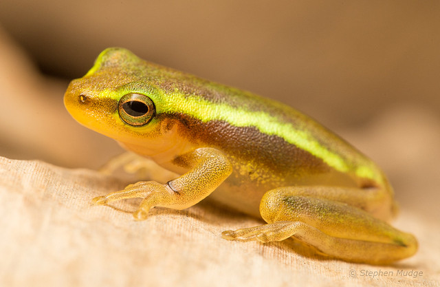 Papua New Guinea frog