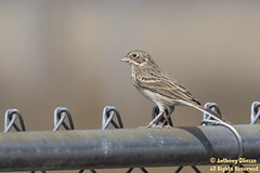 Vesper Sparrow (7785) (rare for Snowhomish County)