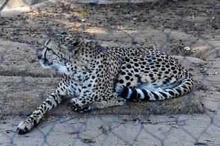 African Leopard - ZOO San Diego (CA)