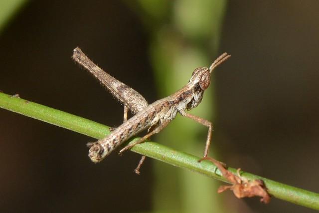 Chaparral Monkey Grasshopper (Morsea californica)