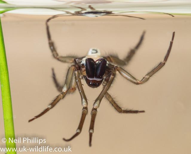 Water spider-8