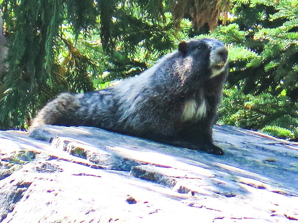 Marmot 2 (1 of 1)