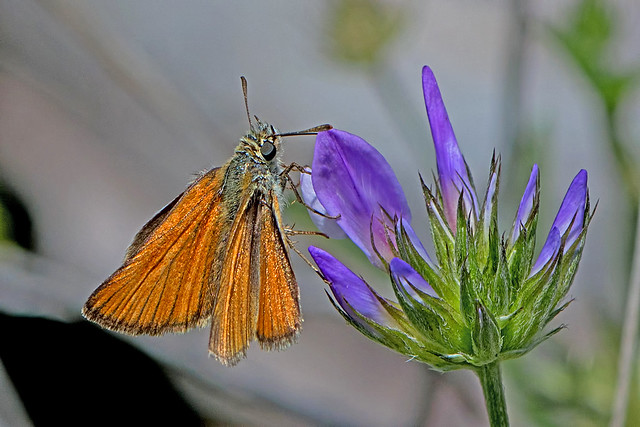 Thymelicus sylvestris - the Small Skipper (female)