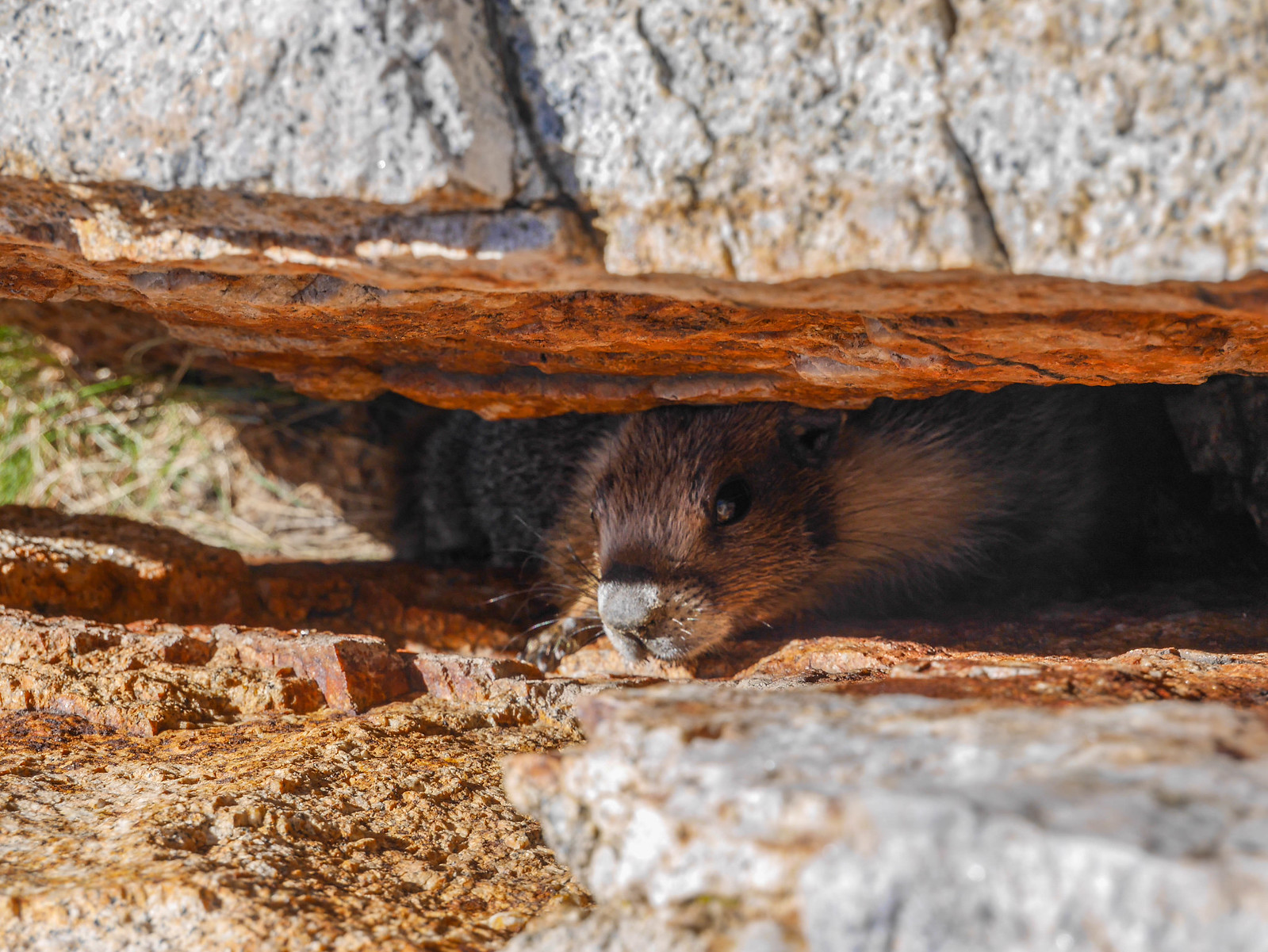 Marmot buddy squished in a rock crack