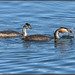 Great Crested Grebe (image 1 of 3) by Full Moon Images
