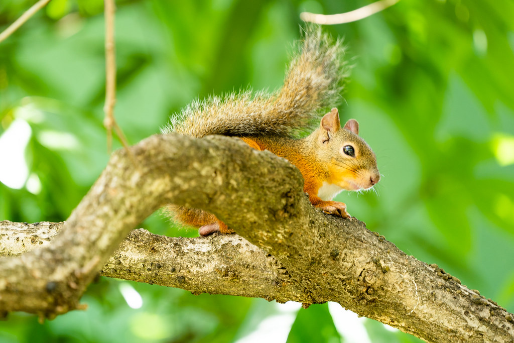 Nihon Squirre