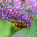 Upside down Hover Fly