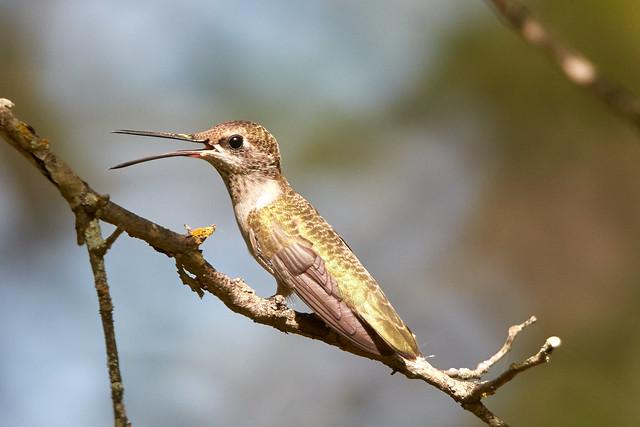 Panting Hummingbird