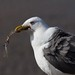 Lesser Black-backed Gull  12