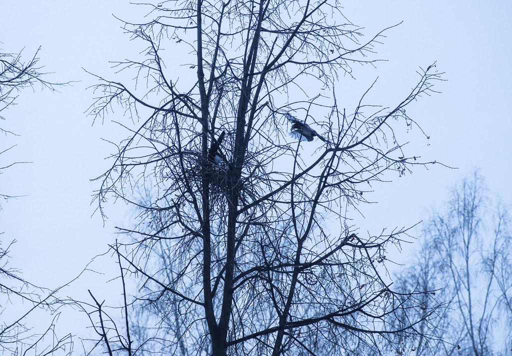 История гнезда. Сороки