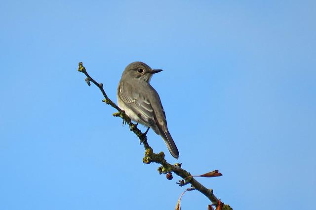 Spotted Flycatcher - Muscicapa striata