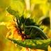 Just a sunflower.